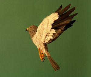 Hen Harrier male